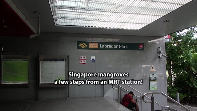 Singapore mangroves, a few steps from an MRT station!