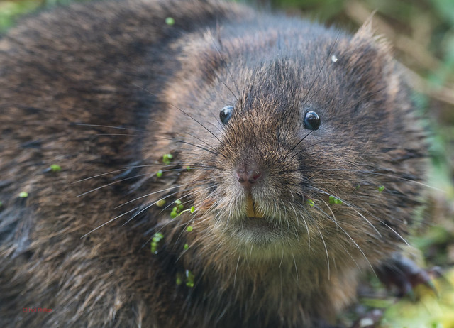 73 water vole - Best2017