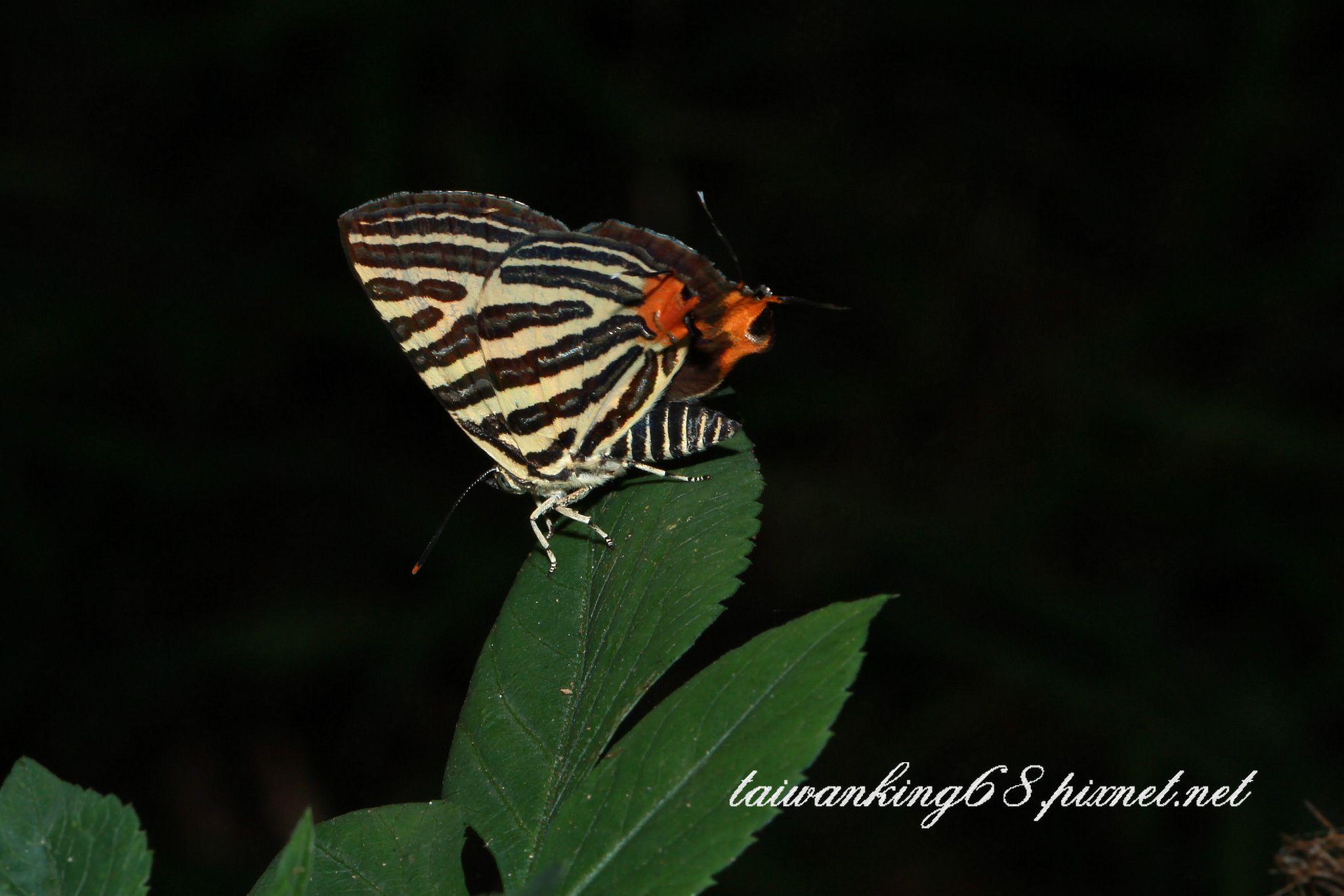 台灣雙尾燕蝶