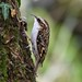 Treecreeper  Leighton Moss F00054 RSPB D210bob  DSC_7569