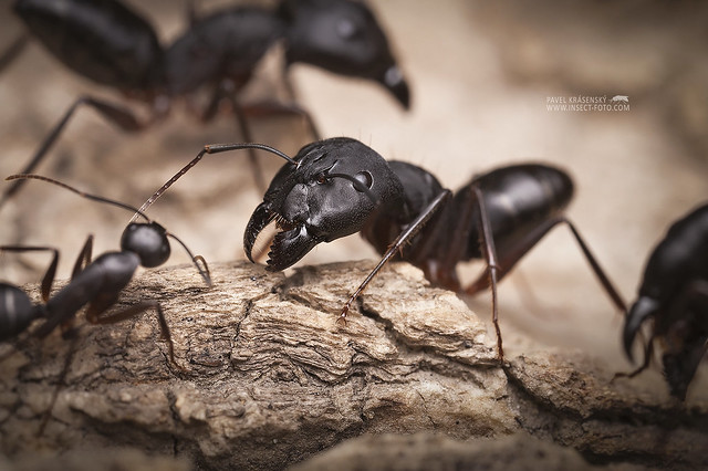 Camponotus from India