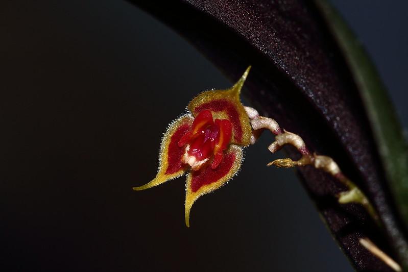 Miniatur-Orchideen Teil 4 39297904712_a4ea31acbf_c