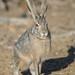Black-tailed Jackrabbit (Lepus californicus)