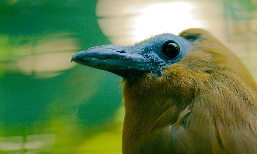 Capuchin Bird_11