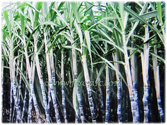 Tropical perennial grass of Saccharum officinarum (Sugarcane, Sugar Cane, Tebu in Malay) that produces sweet sugarcanes, 23 Dec 2017