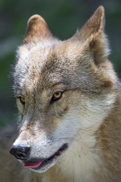 Cute funny wolf