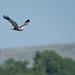 Marsh Harrier Lighton Moss