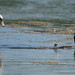 Mute Swan and Great Crested Grebe