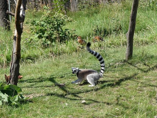 Katta, Zoo Brno