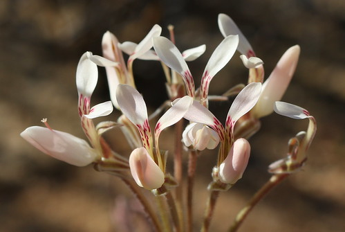 Pelargonium rapaceum with light pink flowers, tuberous species