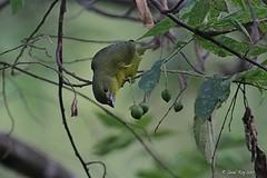 1.30529 Organiste à bec épais (femelle) / Euphonia laniirostris crassirostris / Thick-billed Euphonia
