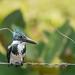Amazon Kingfisher (f) por Becky Matsubara
