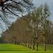 Mistletoe laden trees in Hatfield Park