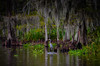 Blue Heron on the swamp Bayou L'Ours - Kraemer LA by mbell1975
