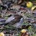Fieldfare Leighton Moss RSPB F00060 D210bob DSC_8830