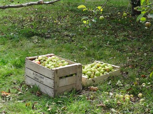 **récolte des pommes
