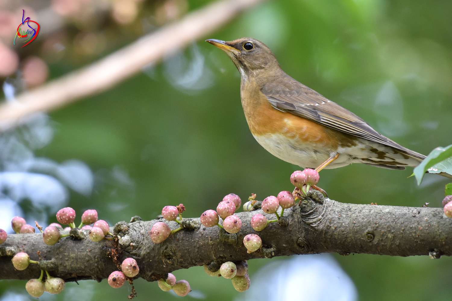 Brown-headed_Thrush_4939