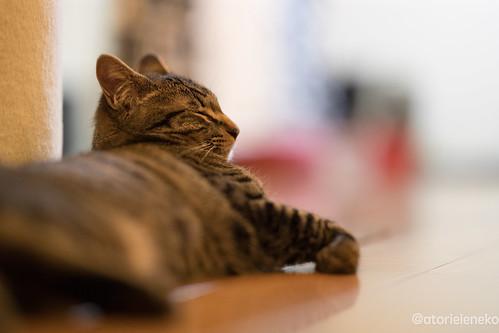 アトリエイエネコ Cat Photographer 38827915164_c7f70d2d50 1日1猫! 猫カフェみーちゃ・みーちょに行ってきました!その1 1日1猫!  里親様募集中 猫写真 猫 子猫 大阪 写真 保護猫カフェ 保護猫 スマホ カメラ みーちゃ・みーちょ Kitten Cute cat