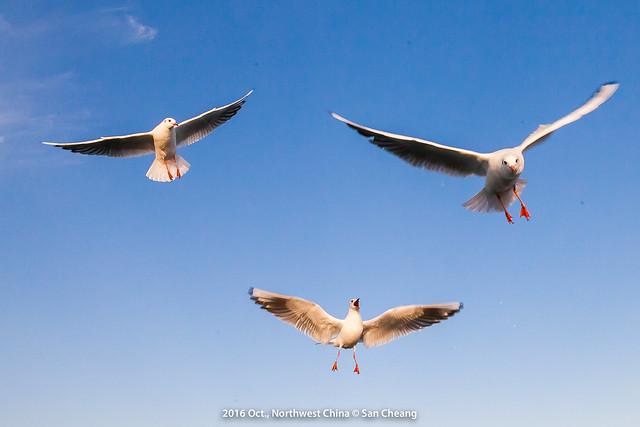 居延海海鷗