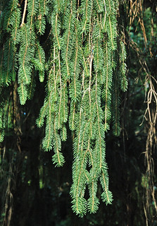 Picea abies (Norway spruce) 6