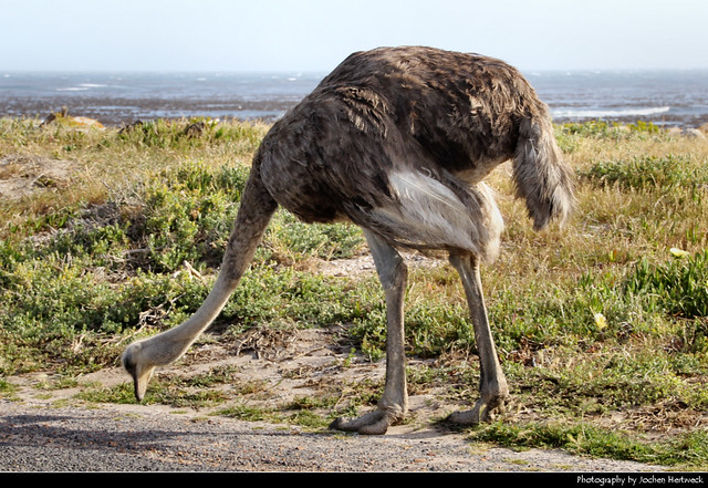 Ostrich, Cape of Good Hope Nature Reserve, South Africa