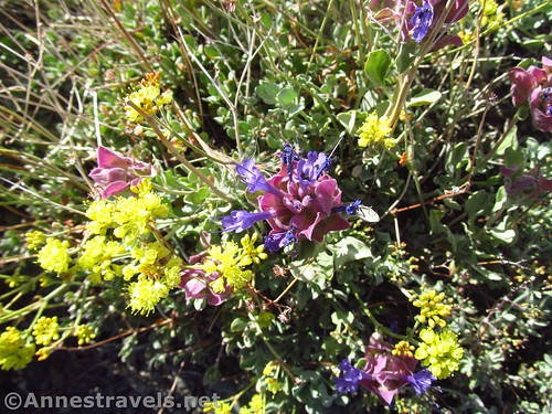 Wildflowers along the Telescope Peak Trail, Death Valley National Park, California