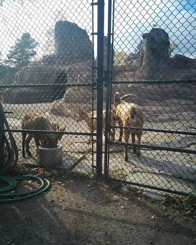 West Caucasian tur (1) #toronto #torontozoo #goats #ibex #westcaucasiantur #latergram
