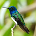 White-necked Jacobin  by Christine Miller