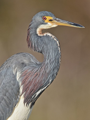 Tricolored Heron 02-20171226