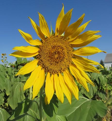 Southeastern Wyoming Sunflower (Albin, Wyoming)