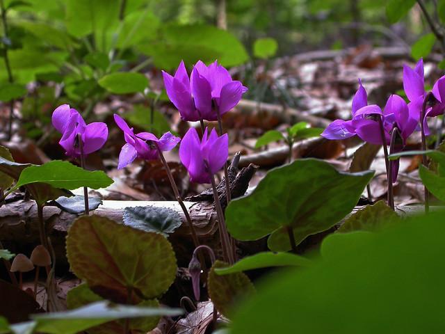 Wildes Alpenveilchen Cyclamen purpurascens, Nikon E4500