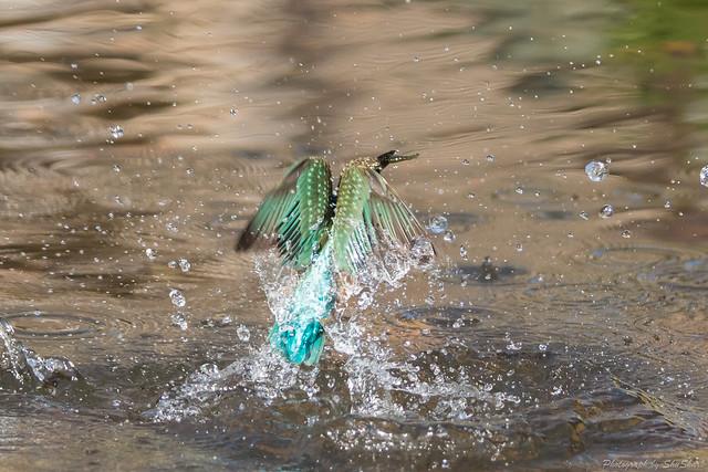 20171216-kingfisher-DSC_0705