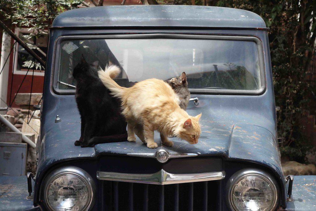 Sucre - Wasi Masi - Cats