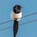 Black-billed Magpie (Pica hudsonia)
