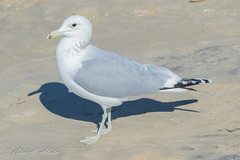 California Gull - Adult - December