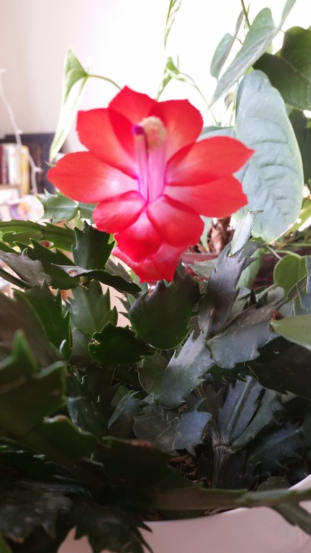 Medusa, the christmas cactus