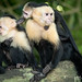 White-Headed Capuchin Monkeys
