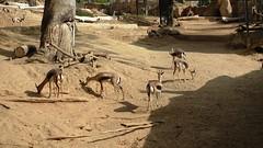 Speke's Gazelles from Somalia at the San Diego Zoo