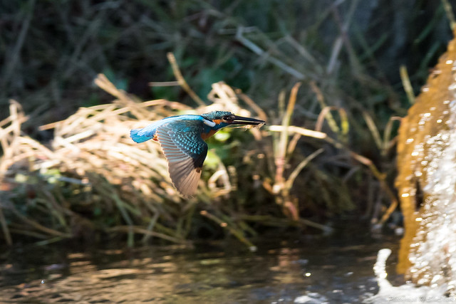 20171225-kingfisher-DSC_2274