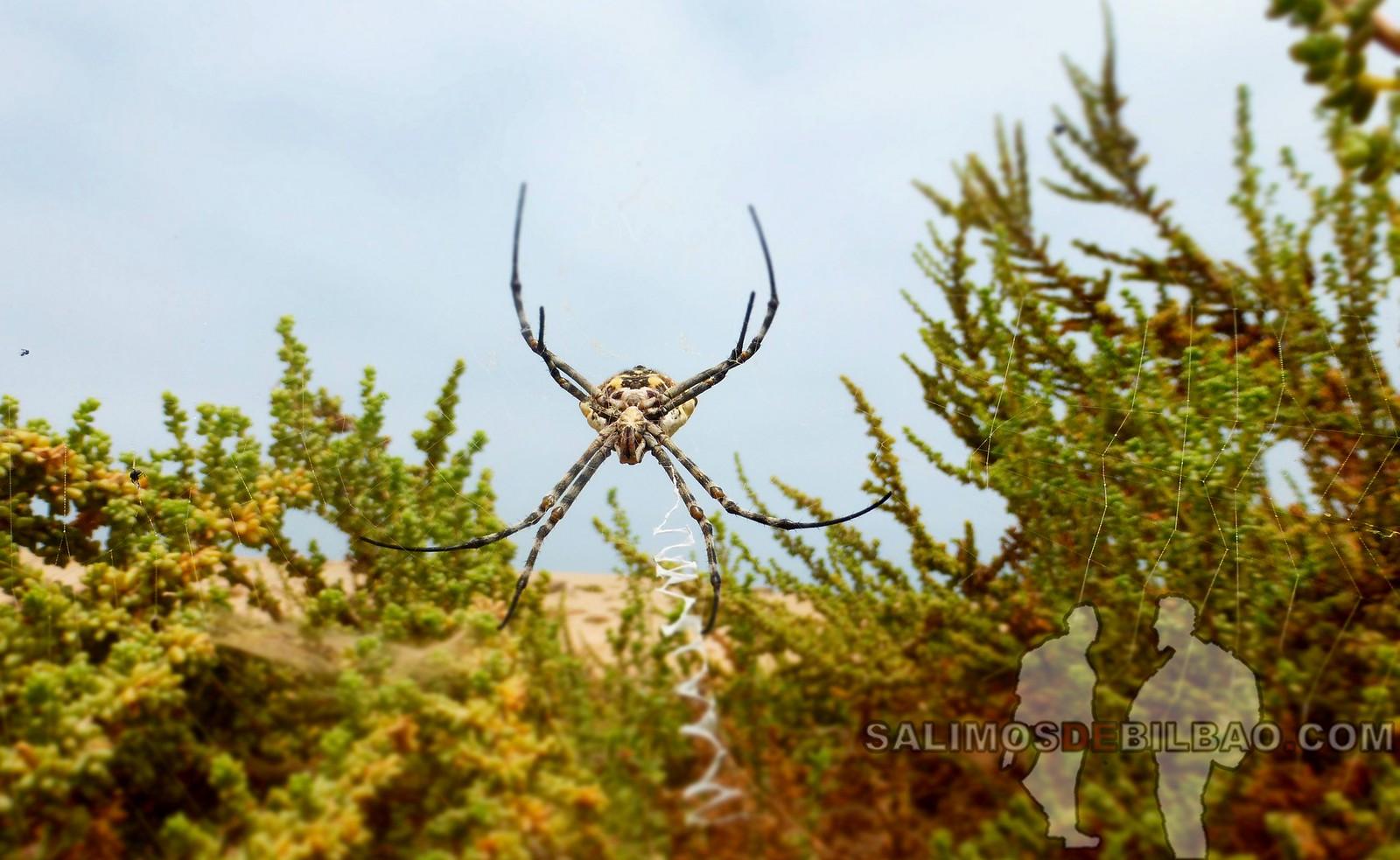 170. Araña, Paseo del Faro a la playa, Dakhla