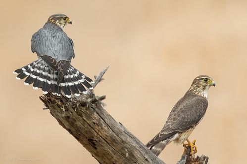 Merlin (pair)