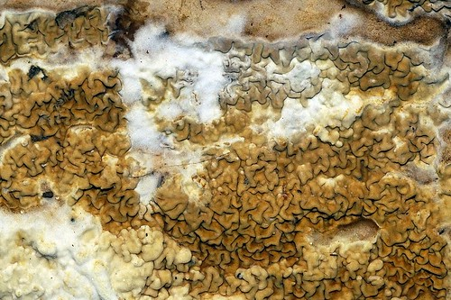Dakloze huiszwam - Serpula himantioides