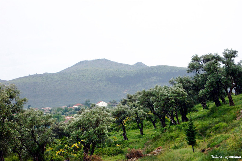 Оливковая роща возле Старого Бара