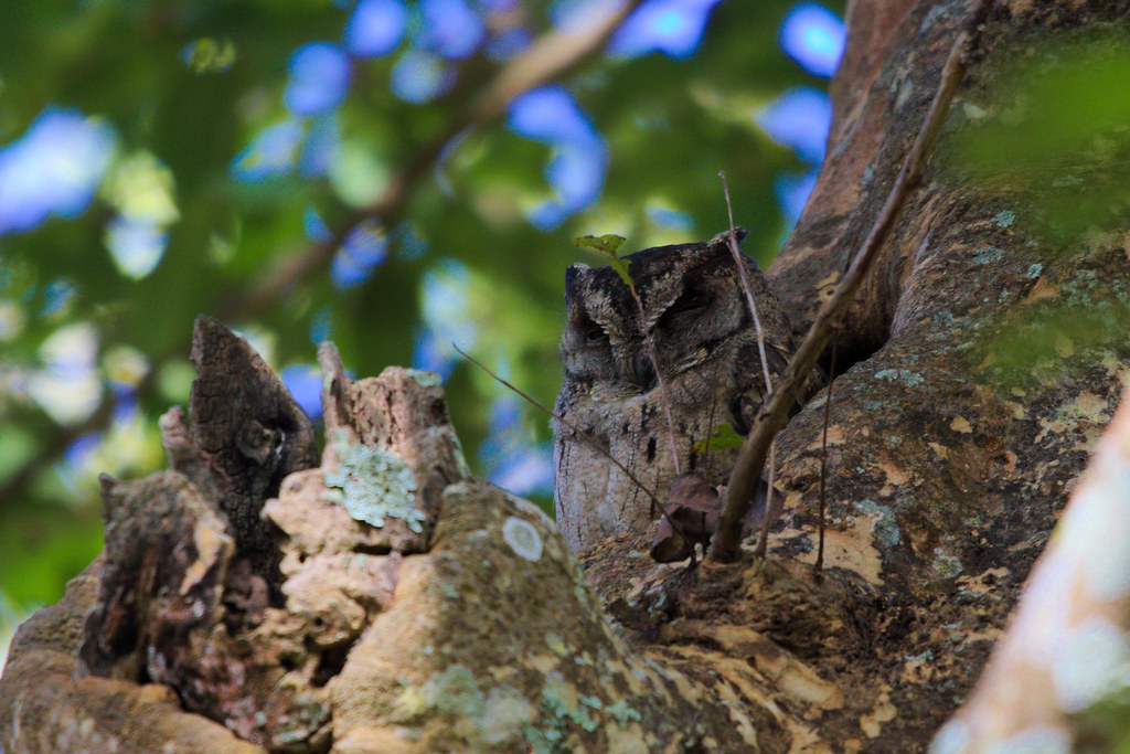 Scops Owl!