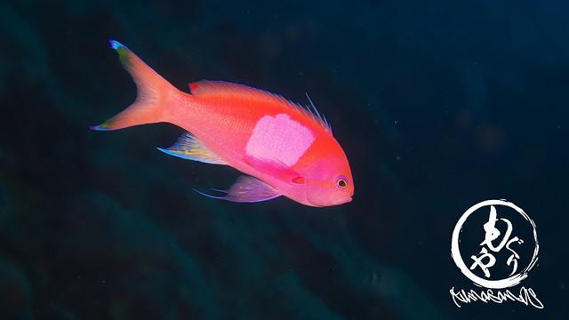 いつ見ても妖艶なスミレナガハナダイのオス