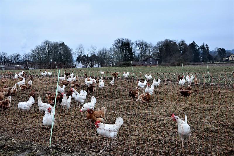 Chickens 06.01 (6)