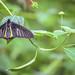 Butterfly #58