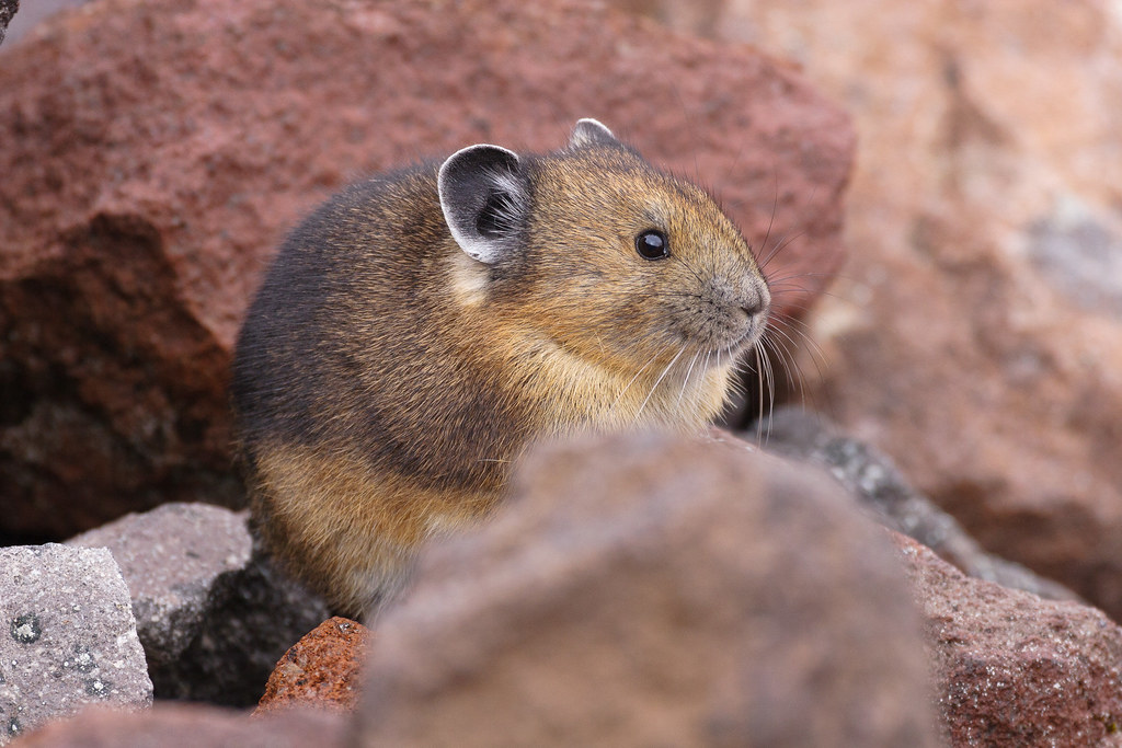An American pika sits in red rocks in the Sunrise area of Mount Rainier National Park