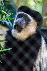 Kikuyu Colobus Monkey - Los Angeles Zoo