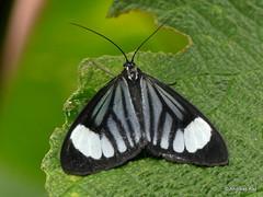 Geometer Moth, Stibaractis dioptis
